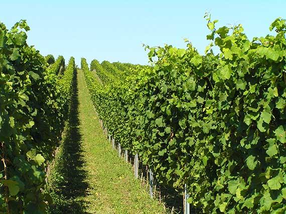 Výsledek obrázku pro barabáš jiří vinařství